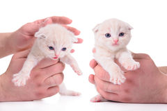 Red kitten Scottish breed Royalty Free Stock Photography