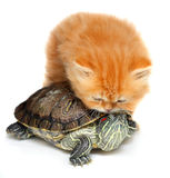 Red kitten with sea turtle. On a white background Royalty Free Stock Photo