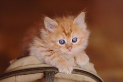 Cute red kitten sitting on the bag. Red kitten sitting on the bag Royalty Free Stock Photo