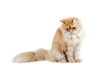 Red Kitten Sitting, Looking Down Royalty Free Stock Photos