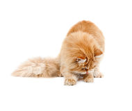 Red kitten sitting looking in front of him and licks lips Stock Photos