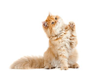 Red kitten sitting looking up with one paw lifted Stock Image