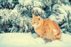 Red kitten sitting in snow near fir tree Stock Photos