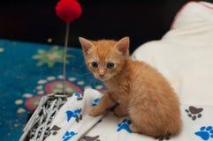 red Kitten Stock Image