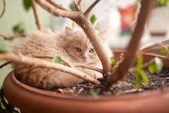 Red kitten sleep in a flowerpot Royalty Free Stock Photo