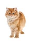 Red kitten standing Stock Photo