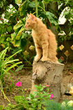 Red kitten on the stump. Stock Images