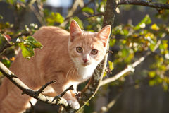 Red kitten on a tree in the afternoon Royalty Free Stock Photos