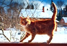 Red kitten winter day. Sun sky clouds Stock Images