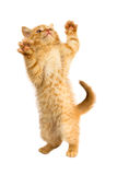 Red kitty stands on her hind legs Royalty Free Stock Photography