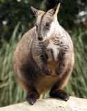 Red knecked Wallaby Royalty Free Stock Images