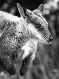 Red knecked Wallaby Portrait. Red necked Wallaby in black and white Stock Photo