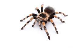 Red Knee Tarantula Stock Photography