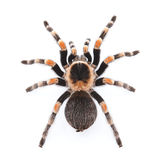 Red knee tarantula Stock Image