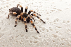 Red knee tarantula Royalty Free Stock Images