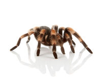 Red Knee Tarantula Stock Photos