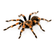 Red Knee Tarantula - spider Royalty Free Stock Image
