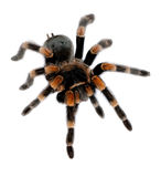 Red knee tarantula Royalty Free Stock Image