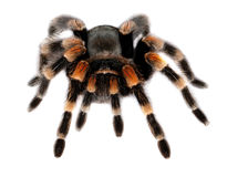 Red knee tarantula Royalty Free Stock Photo