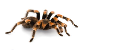Red Knee Tarantulas - spider Royalty Free Stock Images