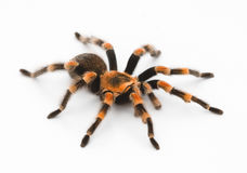 Red Knee Tarantulas - spider Royalty Free Stock Photo
