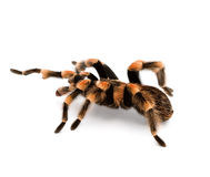 Red Knee Tarantulas - spider Royalty Free Stock Photos