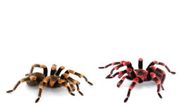 Red Knee Tarantulas - spiders Stock Photography