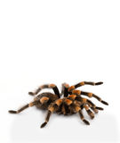 Red Knee Tarantulas - spiders Stock Images
