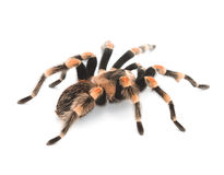 Red Knee Tarantulas - spiders Royalty Free Stock Images