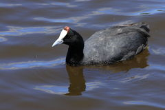 Red-knobbed coot Stock Photos