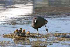 Red knobbed coot and babies Stock Photography
