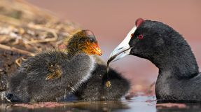 Red-knobbed coot chick is fed small fish by mother to gain strength royalty free stock photos