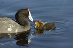 Red Knobbed Coot feeding Chick. A Red Knobbed Coot feeds her chick stock photos