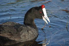 Red-knobbed coot, Fulica cristata royalty free stock image
