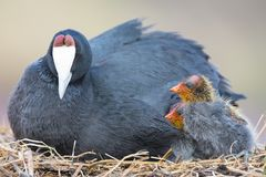 Red Knobbed Coot sitting on a nest with two chicks protecting royalty free stock images