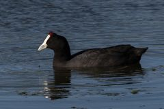 Red-knobbed Coot swimming in a pond stock photo