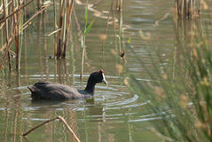 Red-knobbed Coot Royalty Free Stock Photos