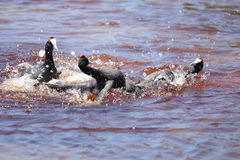 Red knobbed Coots Stock Photography