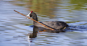 Red knobbed Coots collecting material to build nest Stock Photo