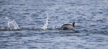 Red Knobbed Coots fighting on a pond for domination of territory stock photos