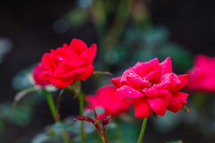 Red Knock Out Roses. In bloom stock images