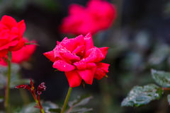 Red Knock Out Roses. In bloom royalty free stock photos