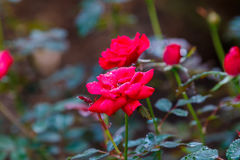 Red Knock Out Roses. In bloom royalty free stock photo