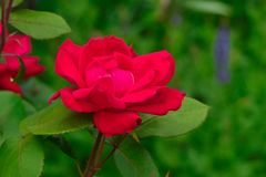 Red Knockout Rose against Green Background stock photo