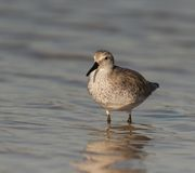 Red Knot Royalty Free Stock Photos