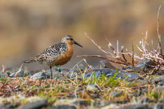 Red Knot Stock Photos