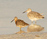 Red Knot in breeding plumage  Royalty Free Stock Image