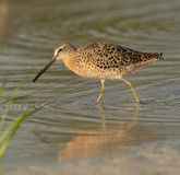 Red Knot in breeding plumage walking in shallow wa