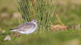 Red Knot. (Calidris canutus) is looking around in front of bushes Royalty Free Stock Photos