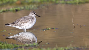 Red Knot. (Calidris canutus) with reflection is standing still in puddle Stock Images